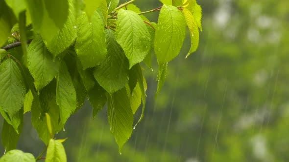 Thumbnail for Raining On Plant Leaves 10