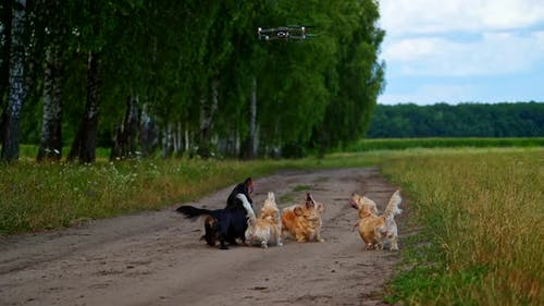 Pedigree dogs and drone