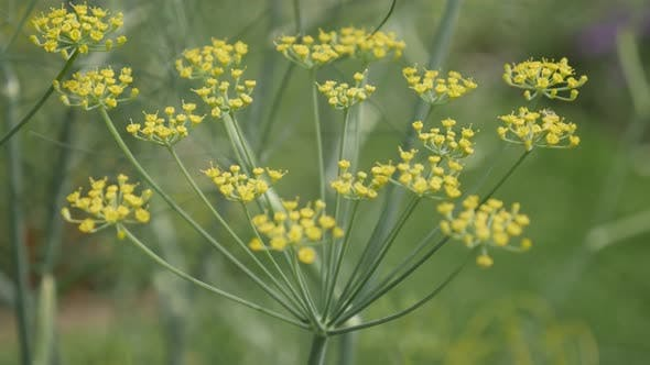 Perennial Fennel herb yellow flowers close-up 4K 2160p 30fps UltraHD footage - Carrot family Foenicu