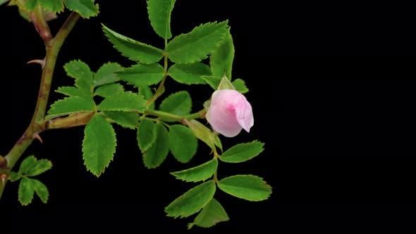 Thumbnail for Rose Hip Flower Macro Timelapse on Black