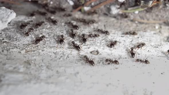 Thumbnail for Flock Ants