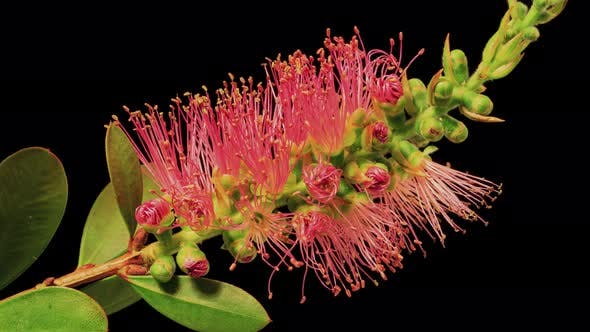 Time Lapse of a Bottlebrush Flower Opening.