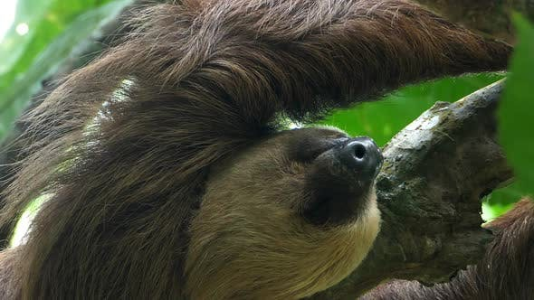 Cover Image for Three-toed Sloth Climbing up a Tree in the Rainforest