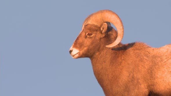 Thumbnail for Bighorn Sheep Ram Male Adult Lone Looking Around in Winter Dusk Twilight Evening