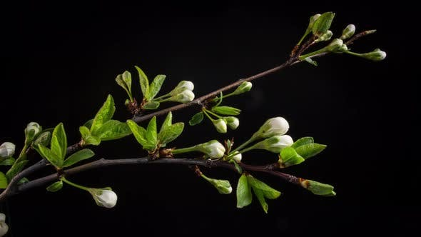Thumbnail for Flowering Branches on a Black Background