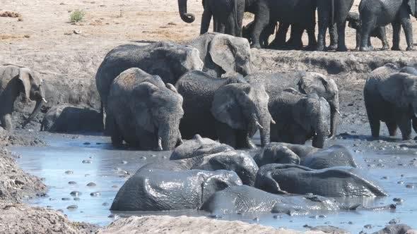 Thumbnail for Herd of African Bush elephants enjoying a mud bath