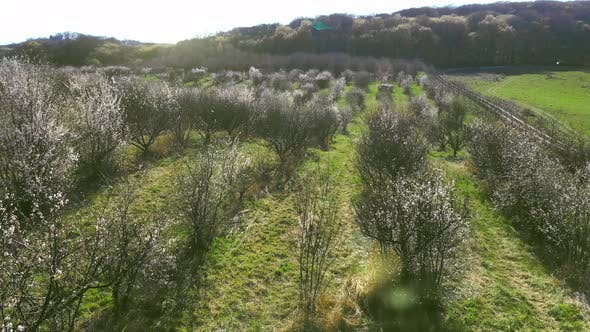 Thumbnail for Aerial Flight Over the Morning Apple Orchard. The Sun Shines Into the Camera and Beats the Sun's