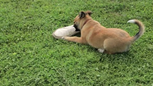 Puppy Playing with Shoe in Slow Motion