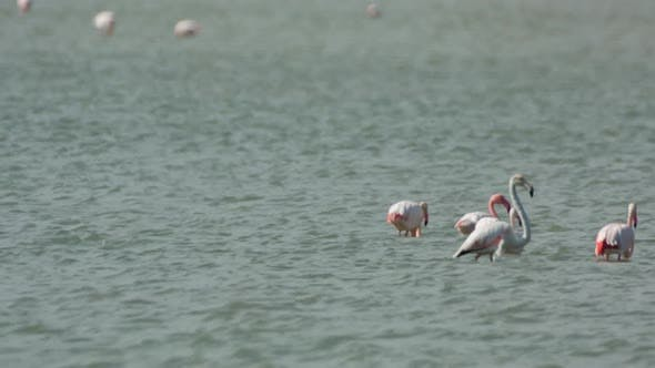 Thumbnail for flamingo bird nature wildlife reserve delta ebro lagoon