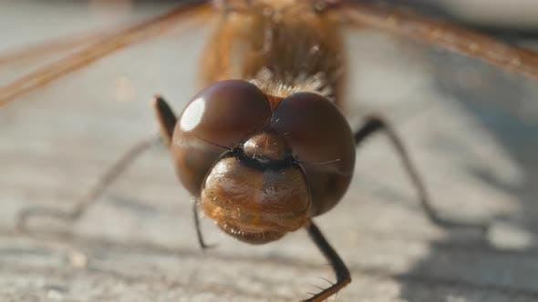 Thumbnail for Macro Shot of Eyes of Brown Dragonfly