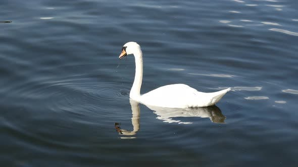 Thumbnail for Swan looking for food in Stockholm Sweden