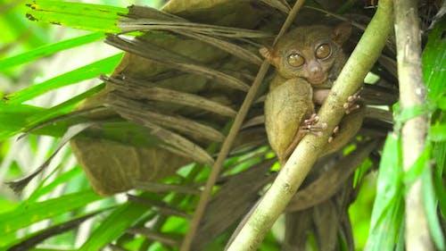 Tarsier im Regenwald