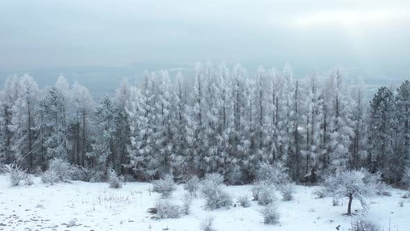 Thumbnail for Wonderful Pinewood Forest with Flying Birds