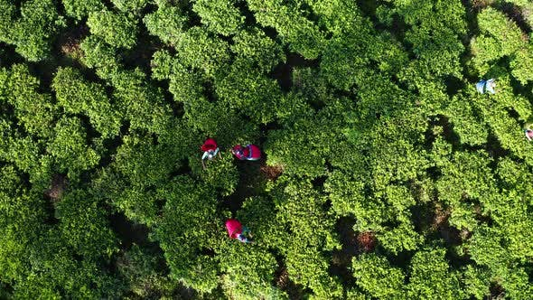 Thumbnail for Aerial View of Tea Plantations, Fields, Waterfall and People Picking Up Tea During Sunrise. Sri