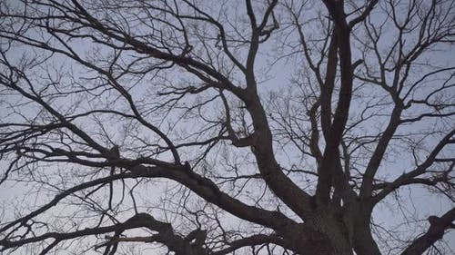 A Large Old Tree Without Leaves