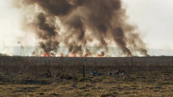 Geese On A Background Of A Large Scale Fire