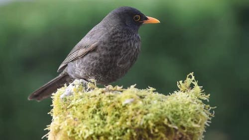 Blackbird eating in nature
