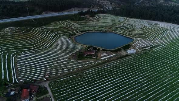 Agriculture - Flying Over Kiwi Plantation