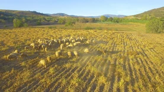 Thumbnail for Flock Of Sheeps