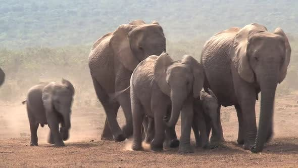 Cover Image for Herd of African Elephants walking on the savanna