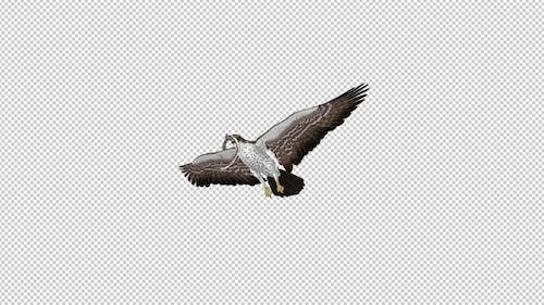 Snake Eagle with Caught Serpent - Flying Transition - IV