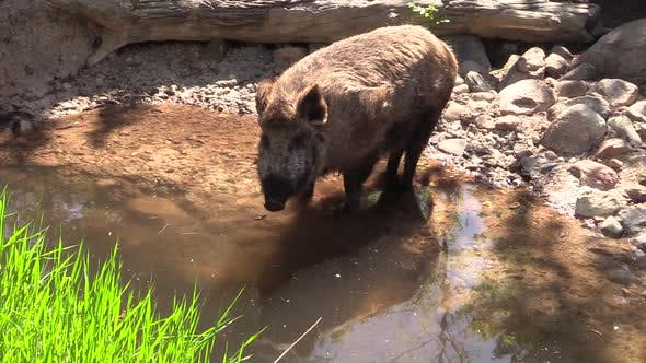 Thumbnail for Wild Boar Pig Drinking Water in Pond