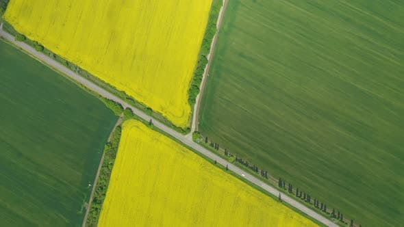 Cover Image for Blooming Rapeseed Field 28