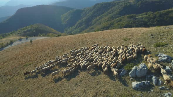Aerial View of Herd of Domestic Sheeps at Autumn in Bulgaria Mountains