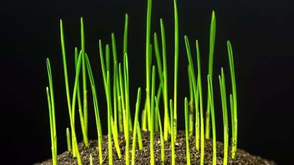 Wheat Sprout Growing Timelapse Rotating on Black