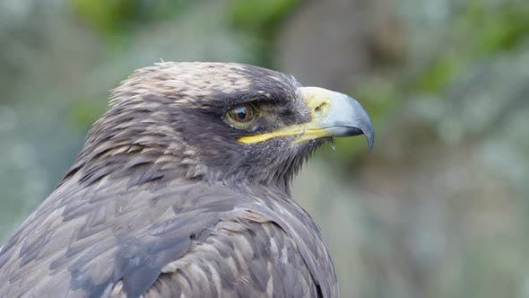 Thumbnail for A Close Up Detail of an Eagle Bird's Head, As It Calmly Watches Its Surroundings