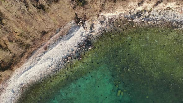 Colony of Seal Rest on Stone Beach and Swim in Clear Water Drone Above