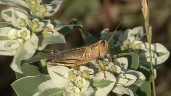 Grasshopper Adult Lone Resting in Summer in South Dakota