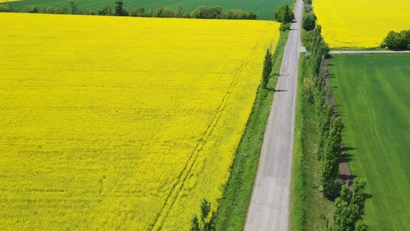 Thumbnail for Blooming Rapeseed Field 23