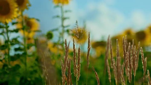 Flower Meadow Spikelets and Sunflowers