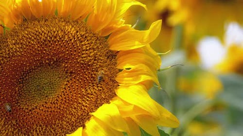 Sunflower in the Field and Bee Crawling on It