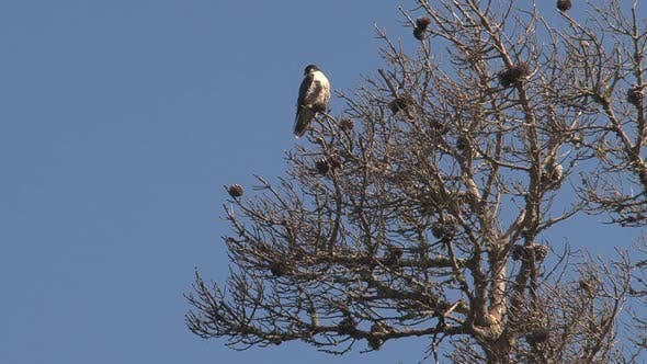 Thumbnail for Falcon bird in tree at the West Coast of California