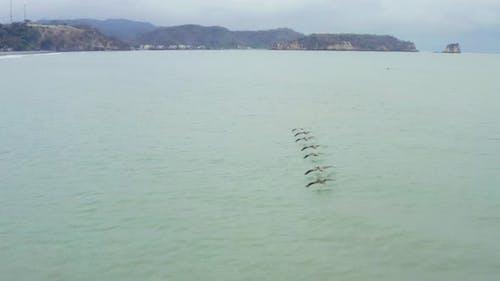 Following seven pelicans, Pelecanus occidentalis