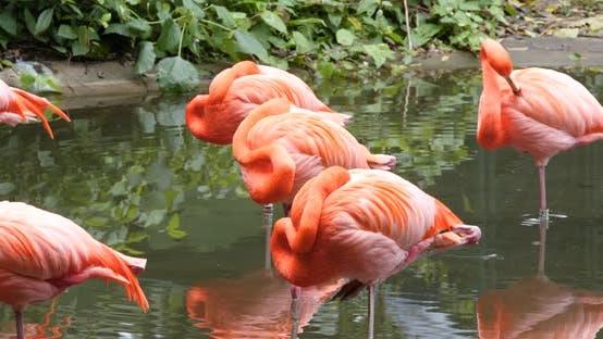 Flamant flamant dans l'étang