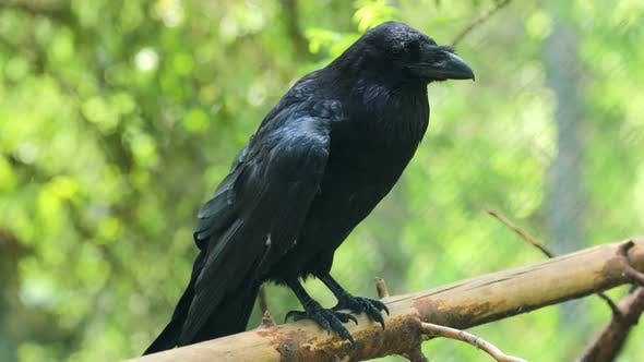 Thumbnail for Common Raven Corvus Corax, Also Known As the Northern Raven