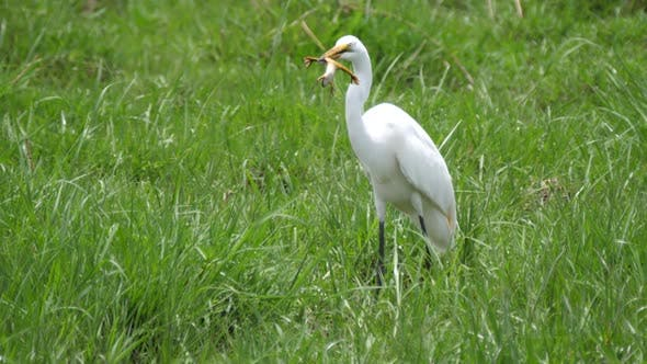 Thumbnail for Great egret eating a frog at Moremi Game Reserve