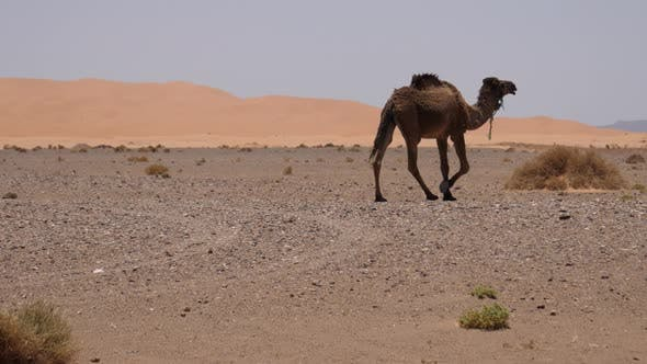 Herd dromedary camels passing by