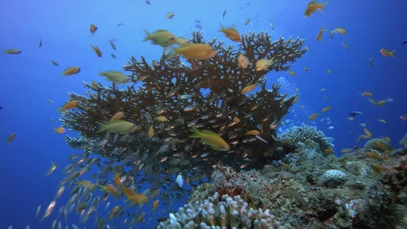 Thumbnail for Tropical Coral Reef Glassfish