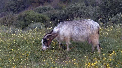 Goat Grazing On The Mountain