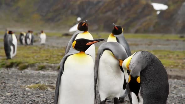 King Penguin Colony on South Georgia