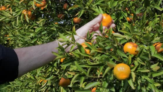 Thumbnail for hand touching tangerine on tree