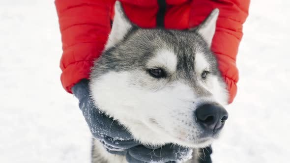 Siberian Husky Portrait In Slow Motion, Slo-Mo