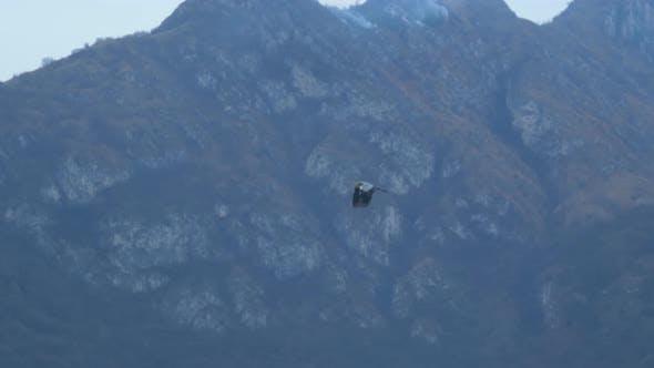 Cigogne noire volant