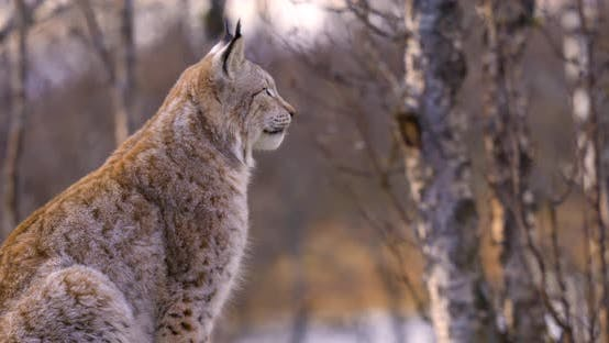 Close-up of a Alert Eurasian Lynx Sitting on a Rock in Forest Looking for Prey