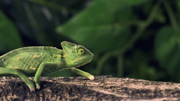 Thumbnail for Green Chameleon Walking Over A Log