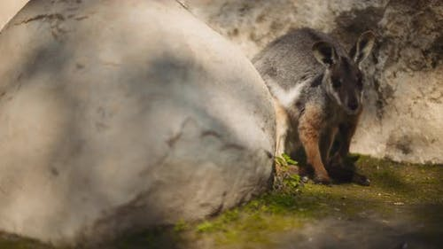 Close up of Yellow-footed rock-wallaby is hiding behind the rock. BMPCC 4K